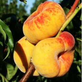 Персик сорт Бельмондо
