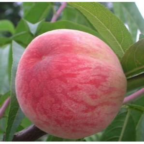 Персик сорт Посол Мира