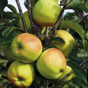 Яблоня зимняя сорт Сапфир