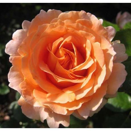 Саженцы роз Polka (Полька)