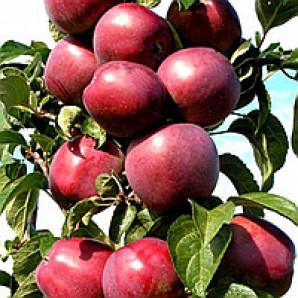 Яблоня колонновидная сорт Сильвер Рива
