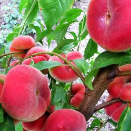 Персик сорт Уфо-2