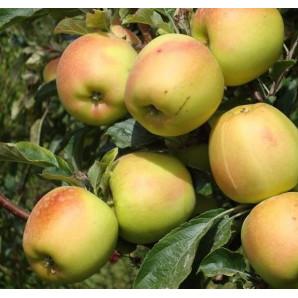 Яблоня зимняя сорт Скифское золото