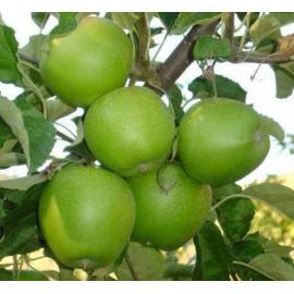 Яблоня зимняя сорт Гренни Смит