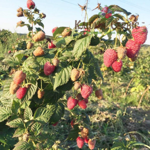 Саженцы малины сорт Брусвяна