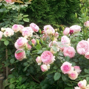 Саженцы роз сорт Eden Rose (Иден Роуз)