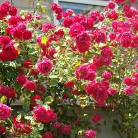 Саженцы роз сорт Flamentanz (Фламентанз)