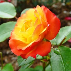 Саженцы роз сорт Rumba (Румба)