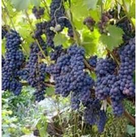 Виноград сорт Ливадийский черный
