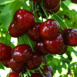 Саженцы черешни сорт Регина