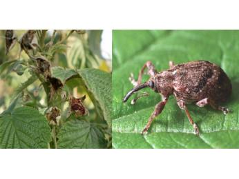 Вредители малины и борьба с ними на участке