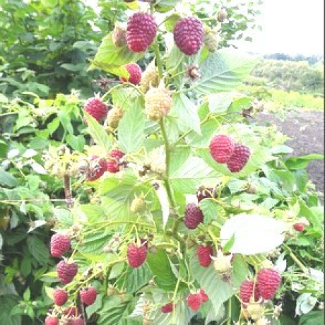 Саженцы малины сорт Джоан Джей, 2 сорт