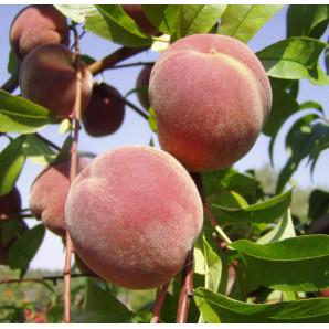Персик сорт Днепровский