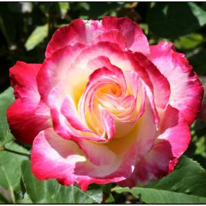 Саженцы роз сорт Дабл Делайт