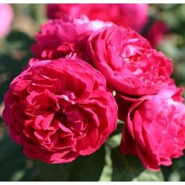 Саженцы роз сорт Мусимара