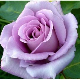 Саженцы роз сорт Блю Мун