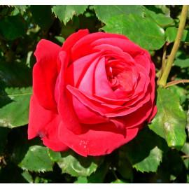 Саженцы роз сорт Дам де Кёр