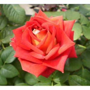 Саженцы роз сорт Френдшип