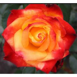 Саженцы роз сорт Мейн Мюнхен