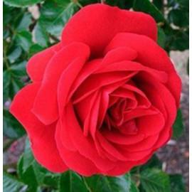Саженцы роз сорт Симпати