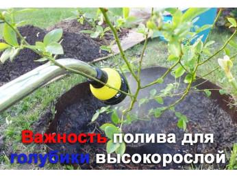 Важность полива для голубики высокорослой