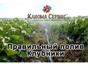 Полив клубники: рекомендации на весь сезон, во время цветения, плодоношения