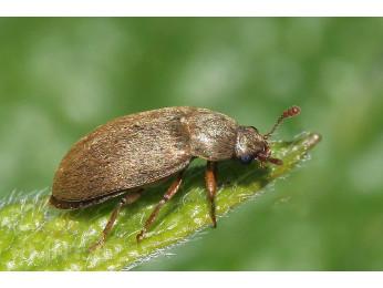 Малинный жук: как избавиться от незваного гостя?