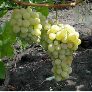 Виноград сорт Карабурну