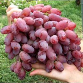 Виноград сорт Ризамат