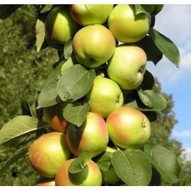 Яблоня колоновидная сорт Патриот