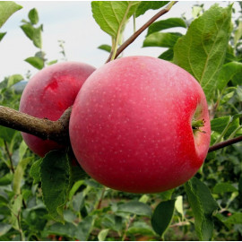 Яблуня сорт Чемпіон