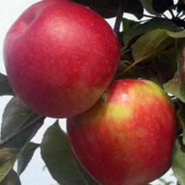 Яблоня зимняя сорт Айдаред, подвой 54-118