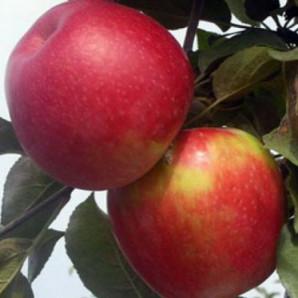 Яблоня сорт Айдаред