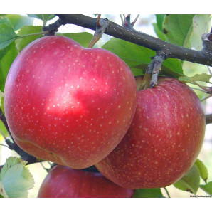 Яблоня сорт Гала Маст