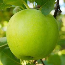 Яблоня сорт Мутсу