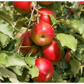 Яблоня колоновидная сорт Останкино