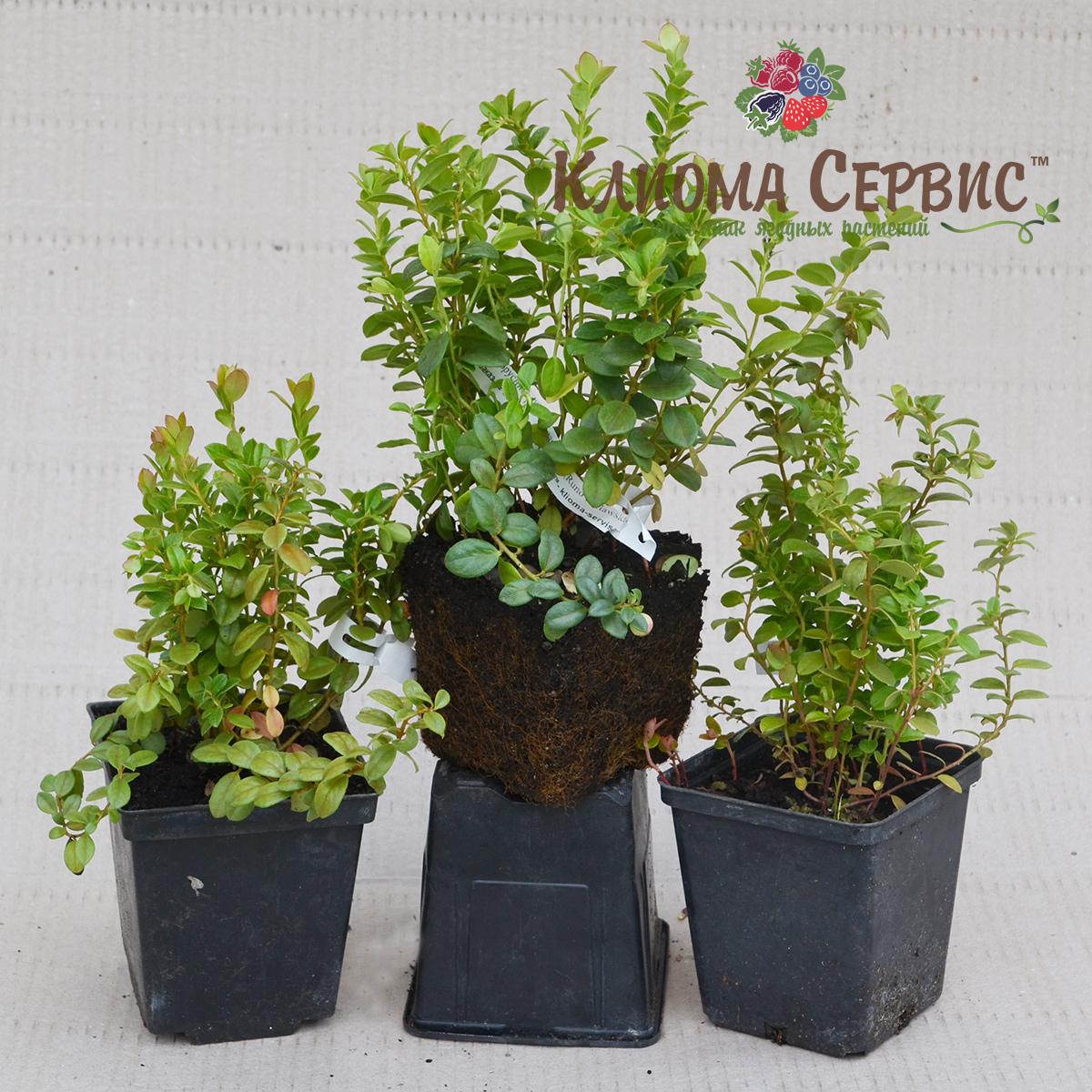саженцы брусники, саженцы брусник купить оптом в Украине, купить саженцы брусники садовой