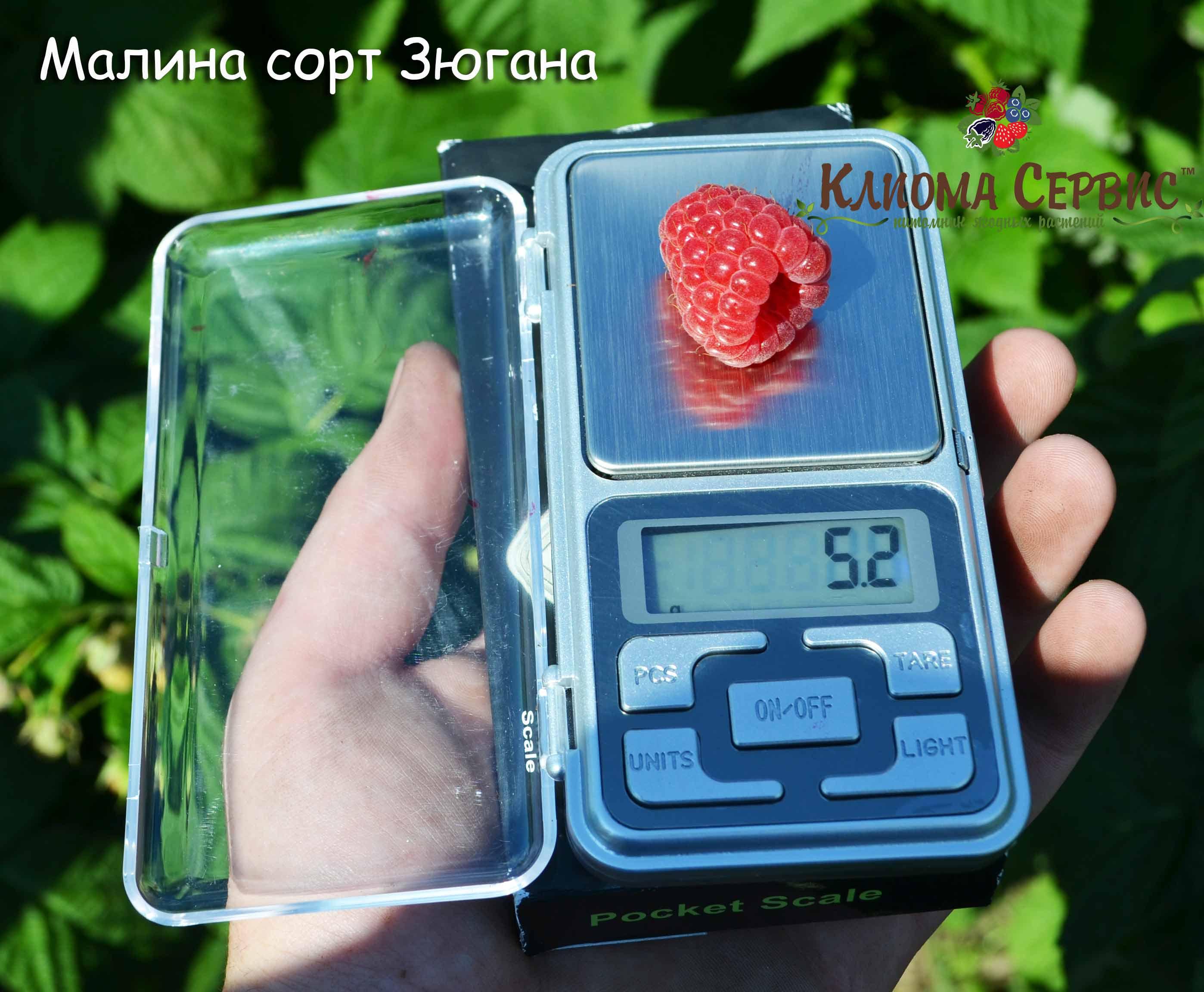 малина зюгана, купить саженцы малины сорт Зюгана, ягода малины зюгана